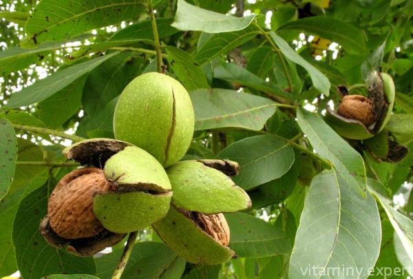 Как растут грецкие орехи